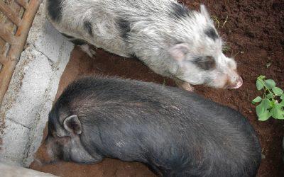 No-Smell Pigs