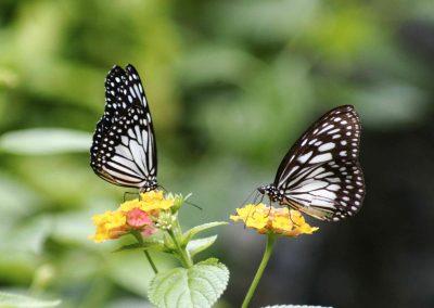 butterflies-pair