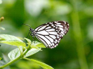 butterfly-set4