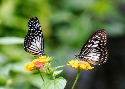 butterfly-set8