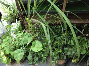 medicinal-plants4