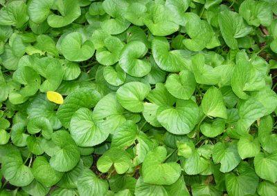 medicinal-plants6